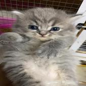 قطط شيرازي مون