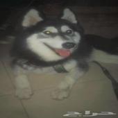 كلب هاسكي من ام واب عمرو سنة مستعجل