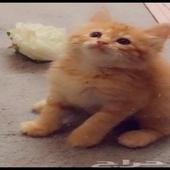 خمس قطط للبيع
