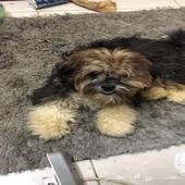 كلب مالتيز شهرين ونص