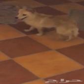 كلب شيواو للبيع جده