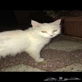 قطه شيرازيه اليفه