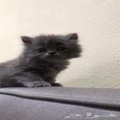 قطة شيرازي بيرشن