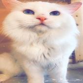 جوز قطط للبيع كامل اغراضها