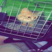 للبيع قطه