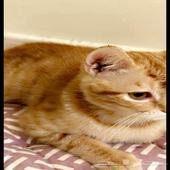 قط للتبني شيرازي تركي