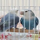 طيور روز البينو وفاليوت