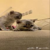 3 قطط شيرازي هملايا