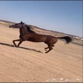 خيل -  racehorse   النوع  فرس
