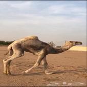 قعود صاهودي مفرود واطيب من الصور الموقع الخرج الرحمانيه