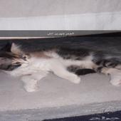مكه - قطط   ام و4اطفال