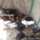 دجاج كوشن للبيع