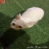 بسة ( قط ) شيرازي عمرها اقل من 3 شهور ونظيفة واليفة مره