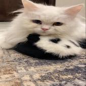 قط شيرازي نادر للبيع