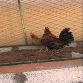 دجاجه وديك للبيع جروم كبار بالحيل بالحيل