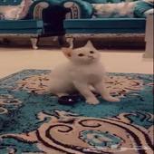 قط ذكر صغير شيرازي للبيع مستعجل