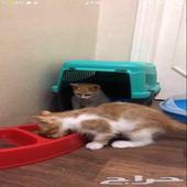 قطط شيرازية بسعر رخيص جدا