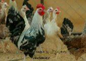 بيض فيومي واندلسي . وطيور فزن .