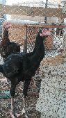 دجاج سندي طول 3 بلكات عمر 6 أشهر