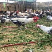 دجاج فيومي حجم جامبو العدد 50 دجاجه و10 ديوك