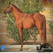 حصان عربي سرعة 1800 متر وفوق