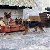 كلب ذكر وانثى جيرمن شيبرد للبيع المستعجل خلال 24 ساعة