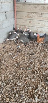 دجاج حبشي بياض (البيع سمح)