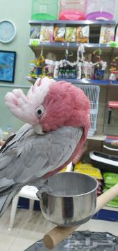 طيور نادرة أليفة للهدد للاطفال والكبار