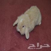السلام عليكم الي عنده ارنب هولندي لوب ذكر للبيع يكلمني واتس