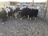 شرق الرياض للبيع طليان نجد
