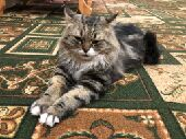 قط تايجر شرازي