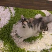قطط شرازيه للبيع