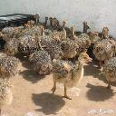 للبيع فروخ نعام افريقي