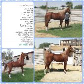 حصان شعبي عربي لاهل الركوب