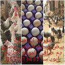 بيض دجاج فيومي مصري