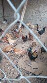 دجاج بشاير بلدي