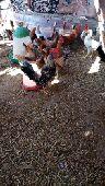 دجاج بلدي للبيع العمر اربع اشهر