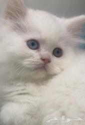 قطة بيضاء صغيرة