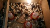 صوص دجاج بلدي عمر 6 ايام الخرج   الدلم