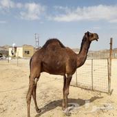 مكة المكرمة ... محافظة بحرة