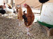 دجاج بلدى العمر 3شهور