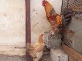 دجاج براهما العدد 2