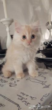 قطه كيتن شرازي