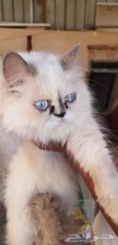 قطه هملايا بيكي فيس بسه قطوه قط قطط