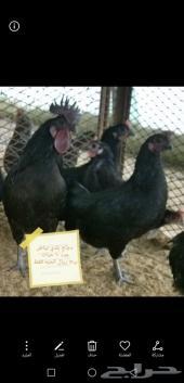 دجاج بياض مع شبك وشاشة تحكم فقاسه