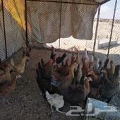 دجاج للبيع نضيف