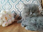 قطه صغيرة للبيع  quot انثى quot