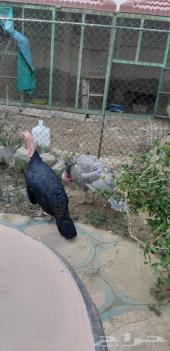 دجاج رومي وبراهما