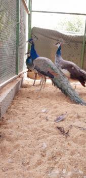 (تم البيع ) طقم طاووس أزرق