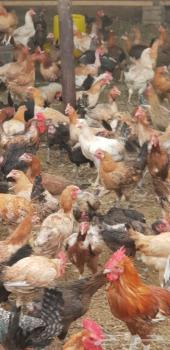 للبيع عدد 1300 دجاج بلدي بياض على الشرط